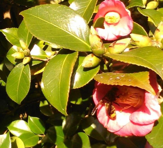 picture image shows Vespa velutina visiting the Camellia plant