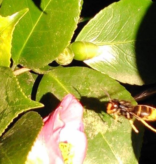 image shows Vespa velutina visiting the Camellia plant by Xesus Feas