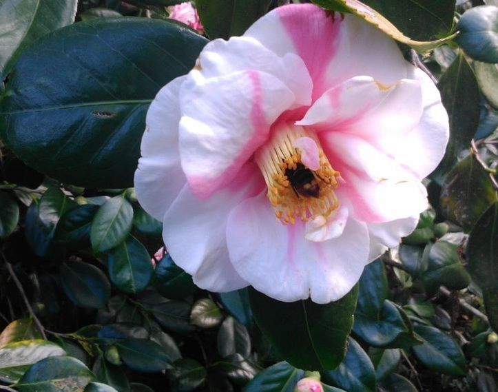 Image shows Vespa velutina inside Camellia flower by Xesus Feas