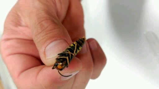 picture of Xesus holding a vespa velutina asian hornet