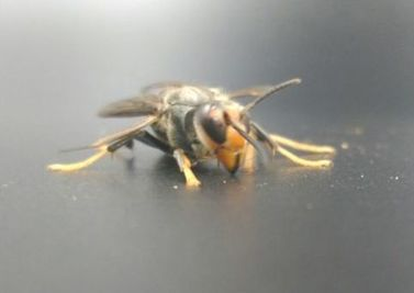 Image of asian hornet close up